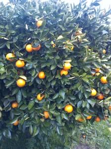 apelsinbuske1