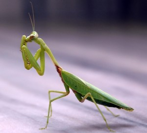 Praying-Mantis-1024x926