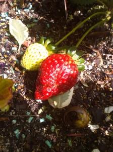 jordgubbe1